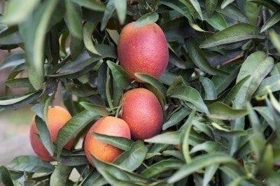 Blood Orange Tree Care How To Grow Oranges
