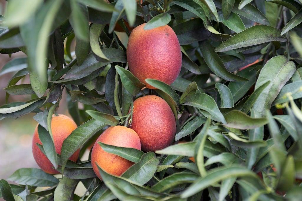 how to grow ponkan orange