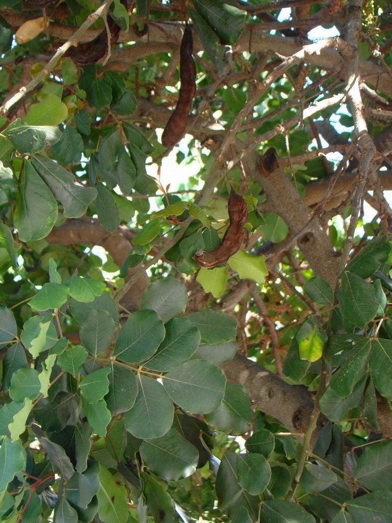 Carob growing in the garden carob tree information and care for Garden trees photos