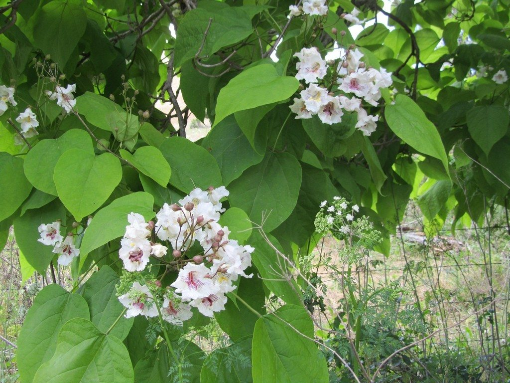 What Is A Catalpa Tree Growing Catalpa Trees In The Landscape