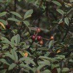 coffeeberry