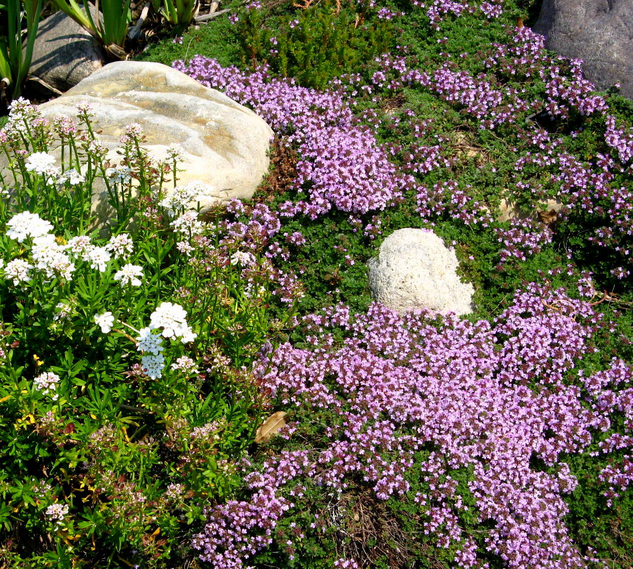 creeping thyme plant care how to plant creeping thyme ground cover. Black Bedroom Furniture Sets. Home Design Ideas