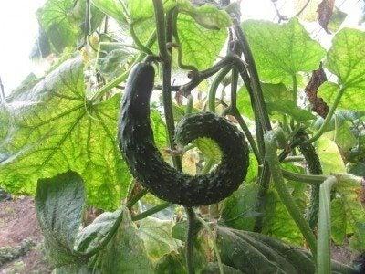 cucumber-curl