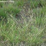 danthonia-spicata