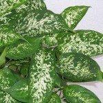 dieffenbachia-foliage