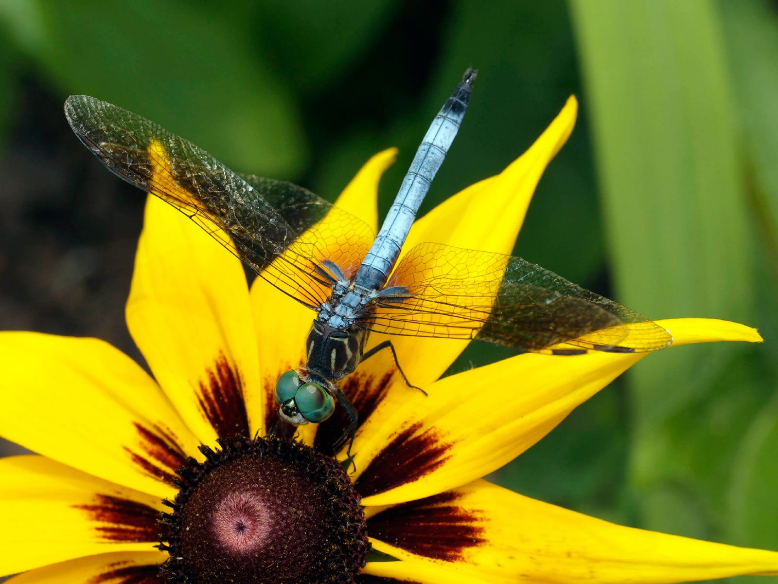 Dragonfly information learn how to attract dragonflies in for Beneficial pond plants