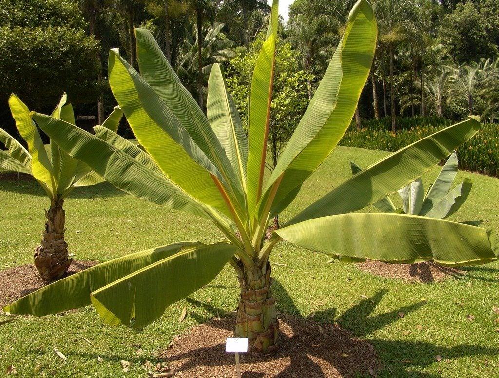 Ensete Ventricosum Cultivation - Learn About False Banana ...