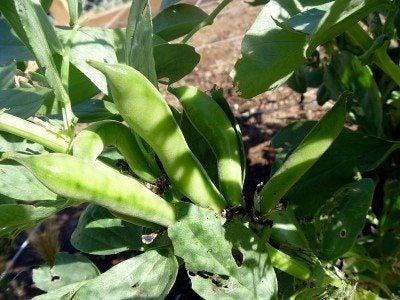 fava-beans
