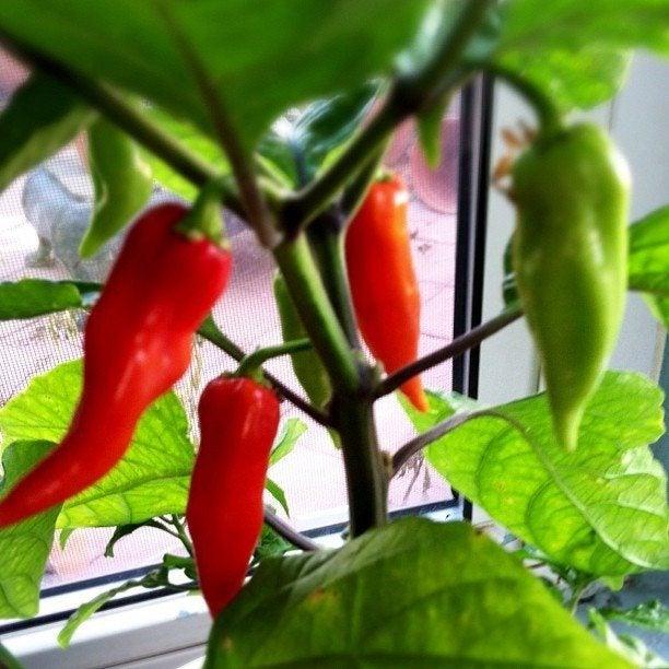 ghost chili pepper