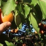 harvesting-apricots