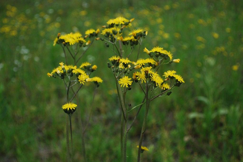 Invasive hawkweed control how to get rid of hawkweeds