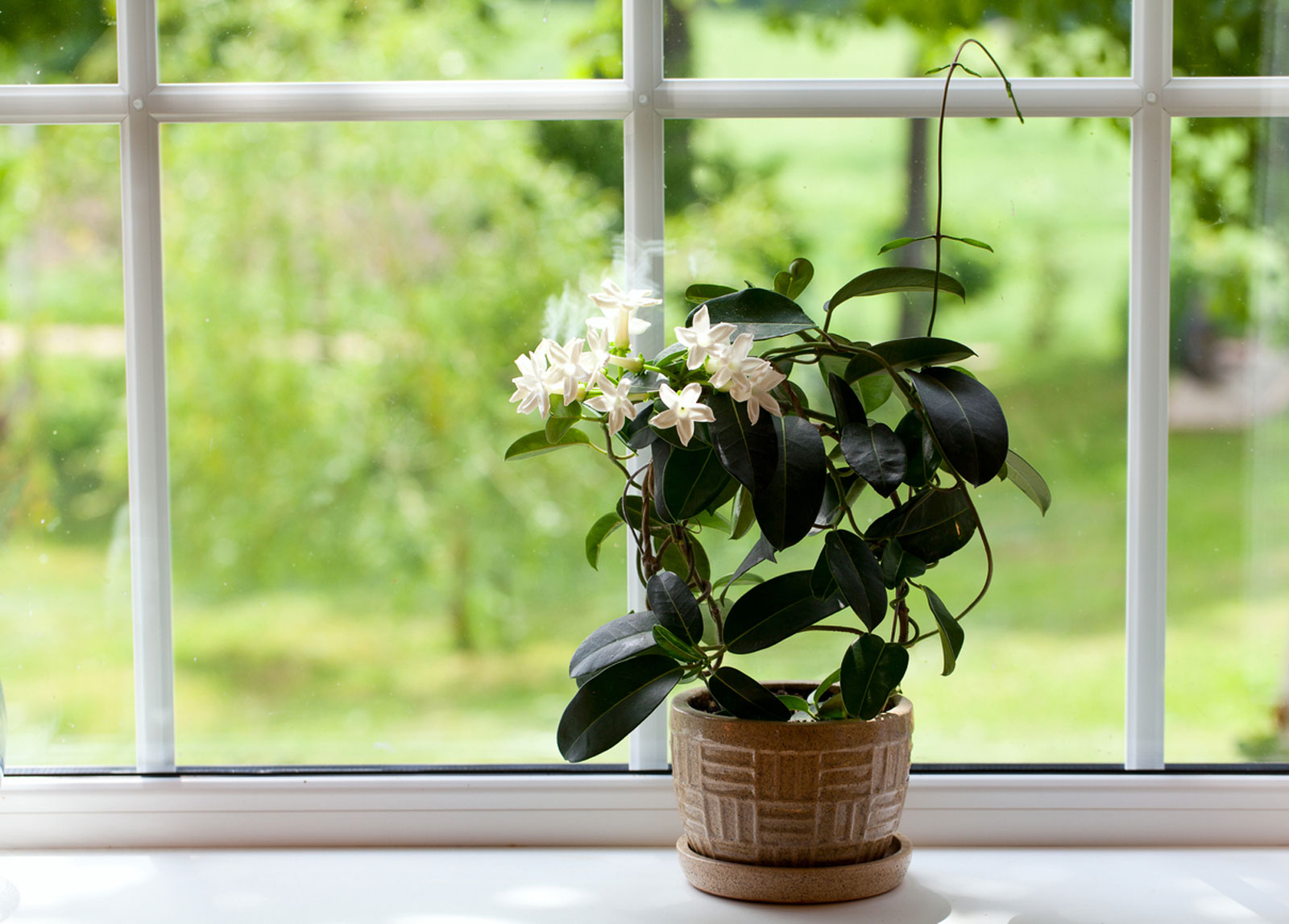 Jasmine Flowers How To Care For A Jasmine Houseplant,What A Beautiful Name Piano Sheet Music Easy