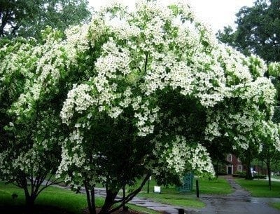 Ornamental trees Kousa Dogwood