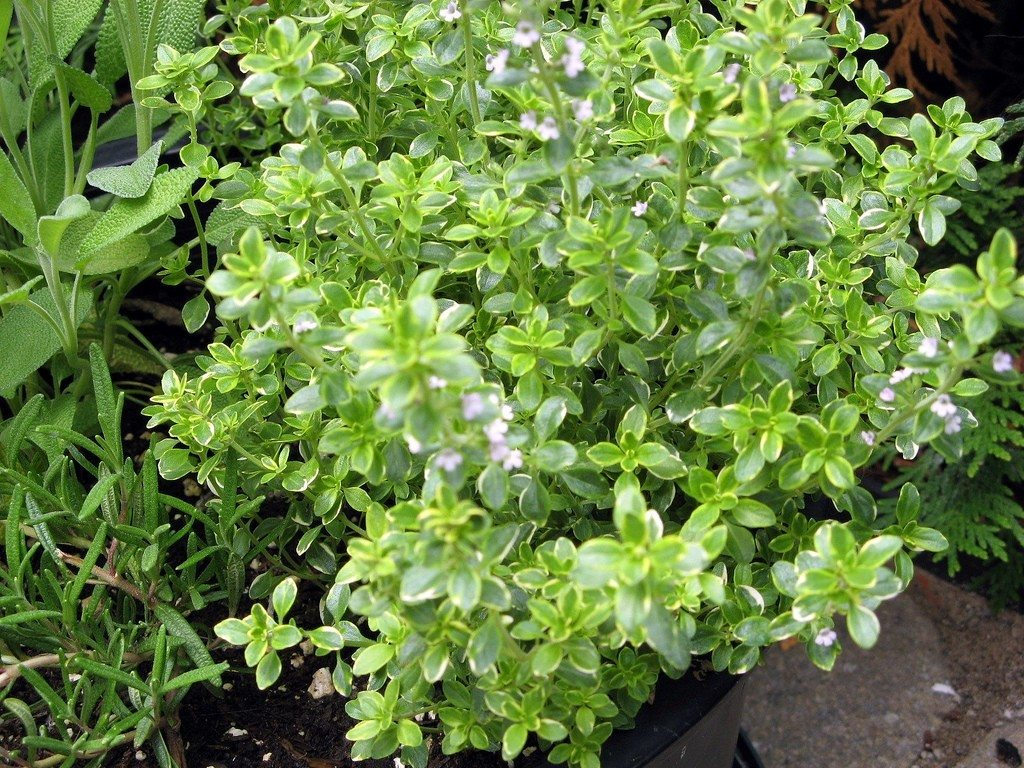 "Picture of 2 Live Thyme Lemon aka Thymus citriodorus Herbs Plant Fit 3.5"" Pot"