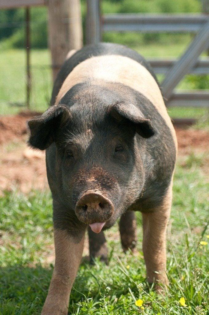 pigs manure