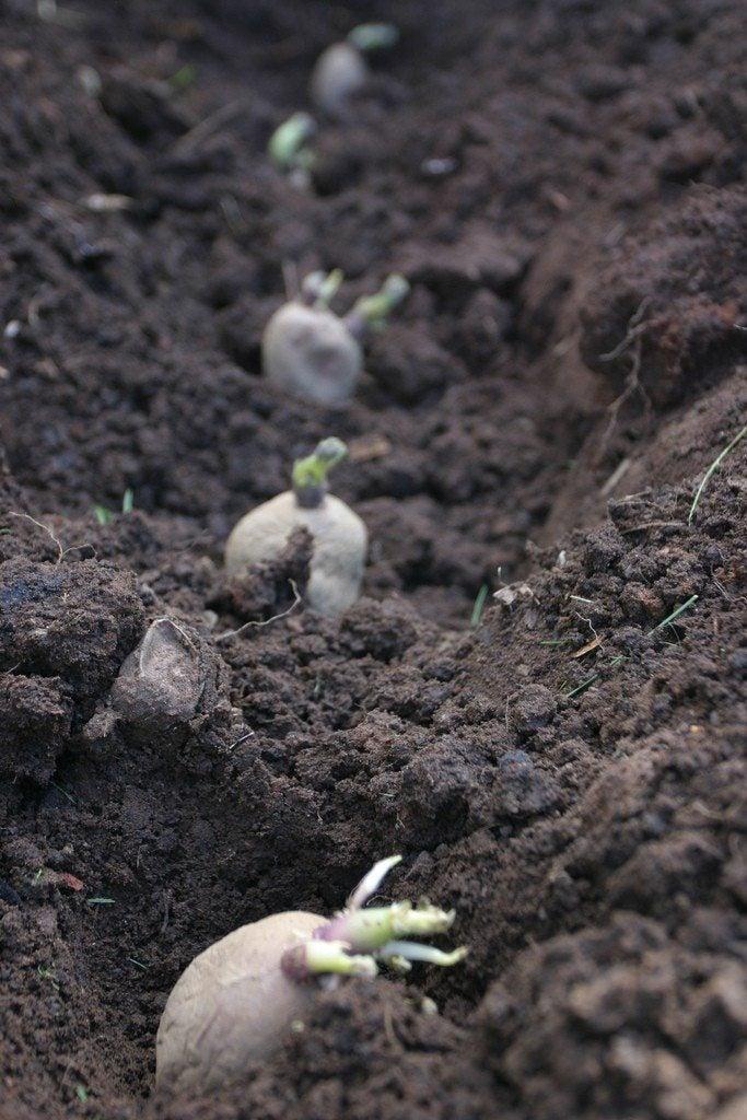 Growing Potato Plants Information On Planting Depth Of Potatoes