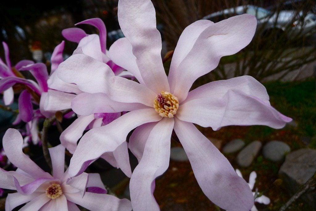 star magnolia care  u2013 tips for growing star magnolia trees