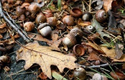 Can you compost acorns: tips on composting acorns