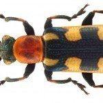 asparagus-beetle