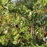 caragana-pea-tree