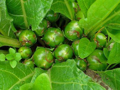 common mandrake