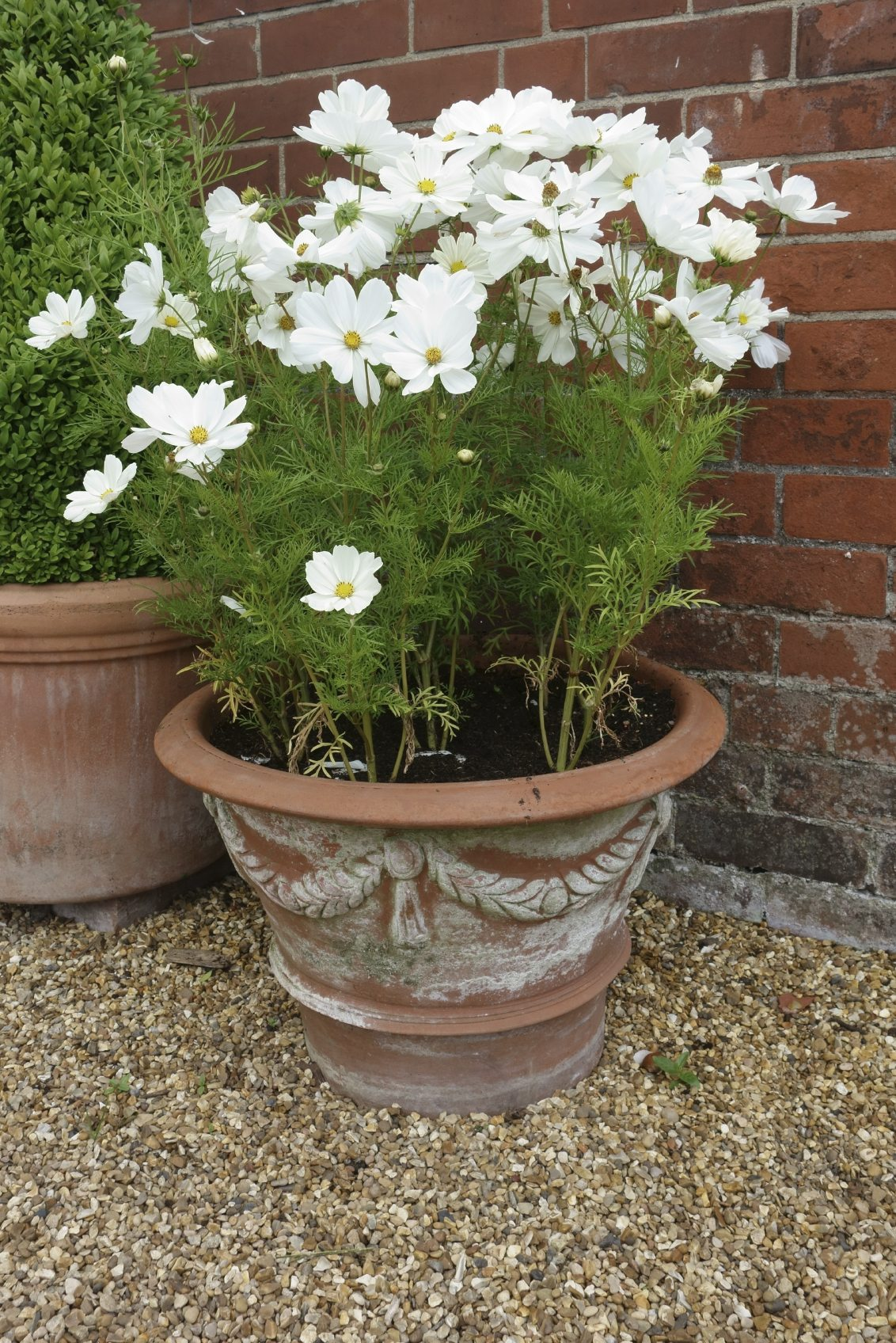 Potted cosmos flowers how to grow cosmos in a pot for Easy garden plants to take care of