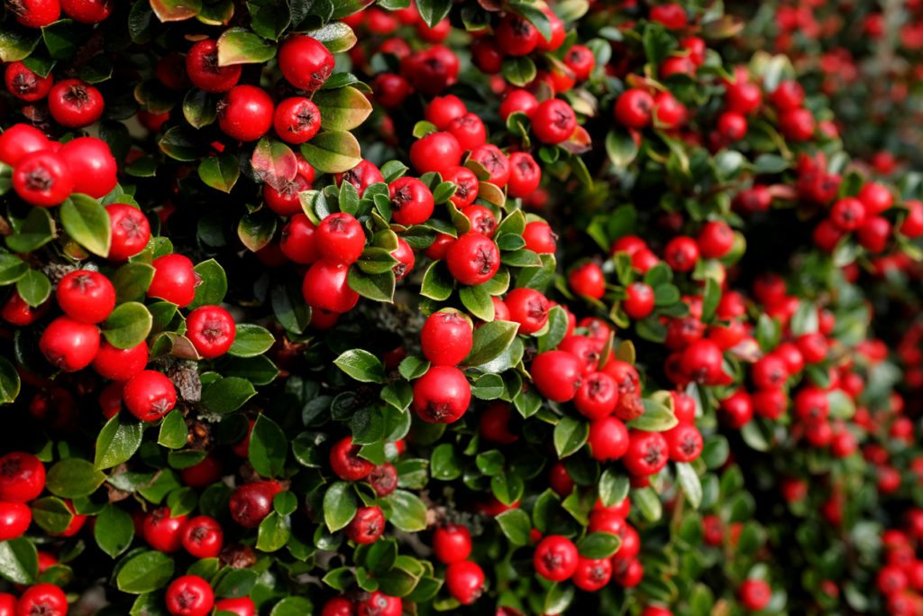 Cotoneaster horizontalis hedging plants   wall cotoneaster.