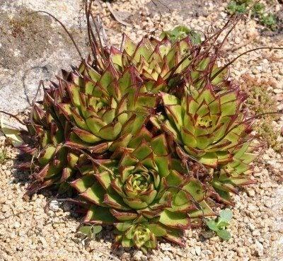 Care Instructions For Echeveria Succulent Plant Information