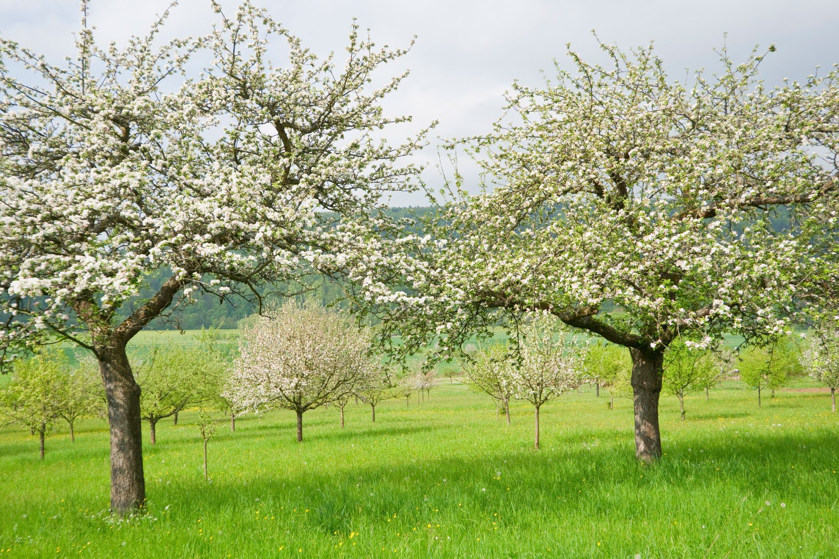 How to treat apple trees in the fall to keep trees from frost and pests