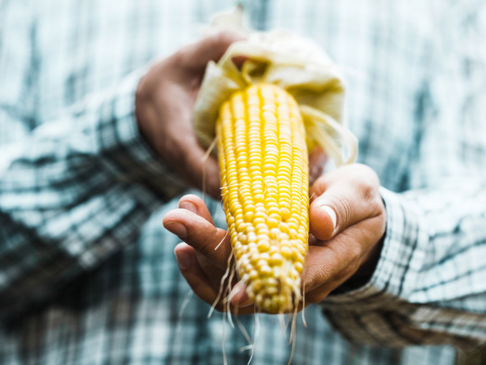 Corn Harvesting Info When And How To Pick Sweet Corn