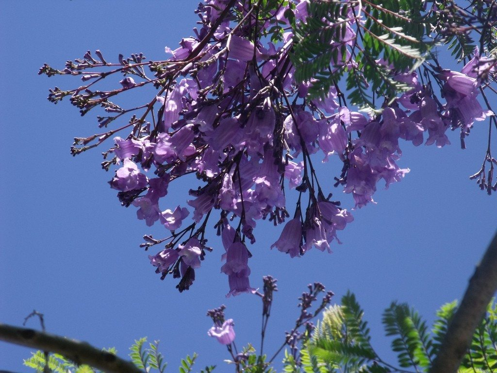 Growing Jacaranda Trees How  Jacaranda Tree Wallpaper
