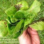 lettuce-blight