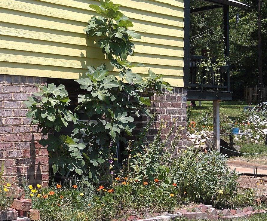 Espalier Garden Redux: Learn How To Espalier Figs In The