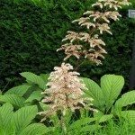 Fingerleaf Rodgersia