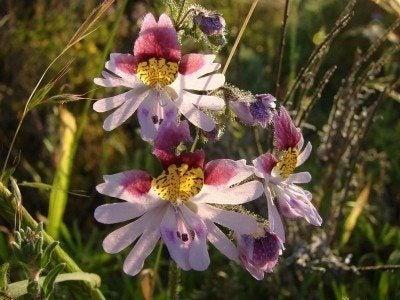 Schizanthus