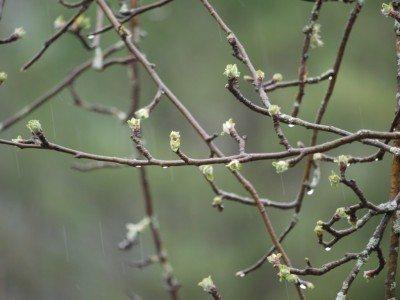 Apple tree buds
