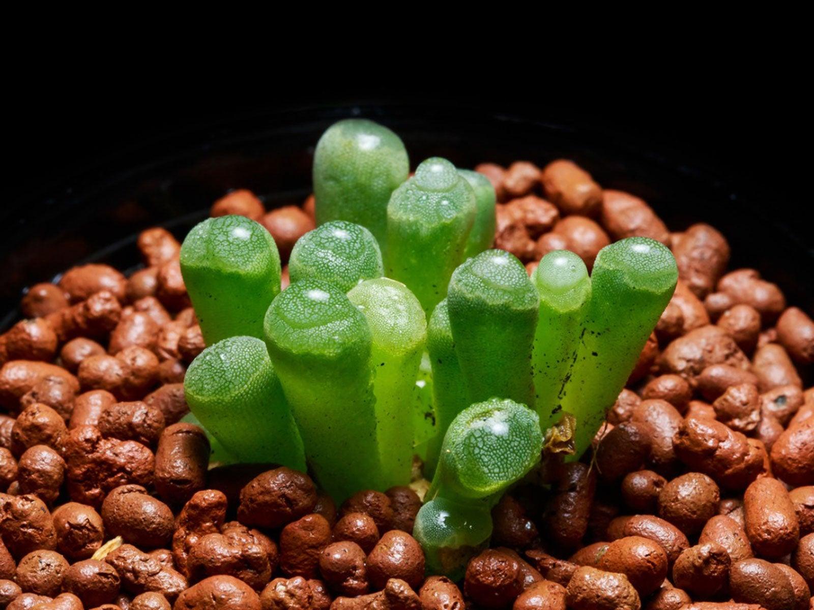 Babies Toes Fenestraria mixture 10 Seeds #9441
