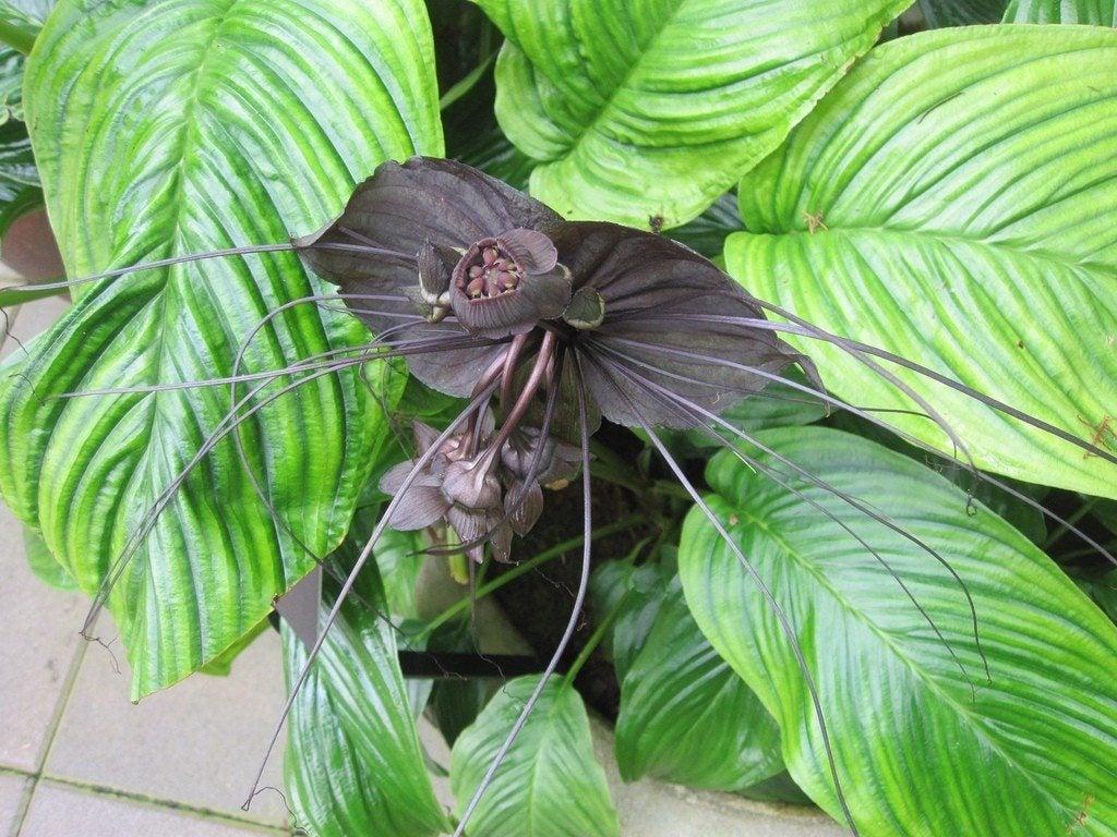 Bat Flower Info How To Grow Bat Flower Plants