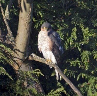 Common garden birds of prey: attracting birds of prey to gardens