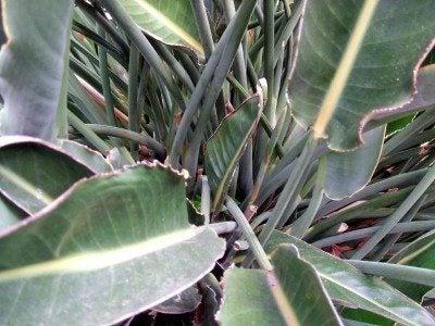 bop-leaves