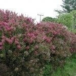 bottlebrush-shrub