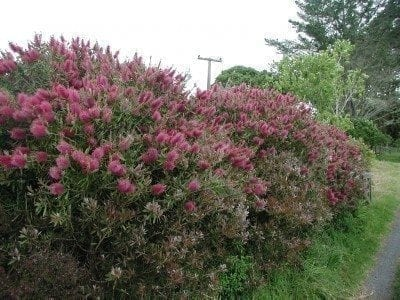 Pruning Bottlebrush When And How To Prune Plants