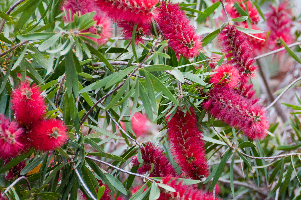 Bottlebrush Plant Pruning And Care How To Grow A Bottlebrush