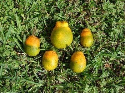 Resultado de imagen para Citrus Greening