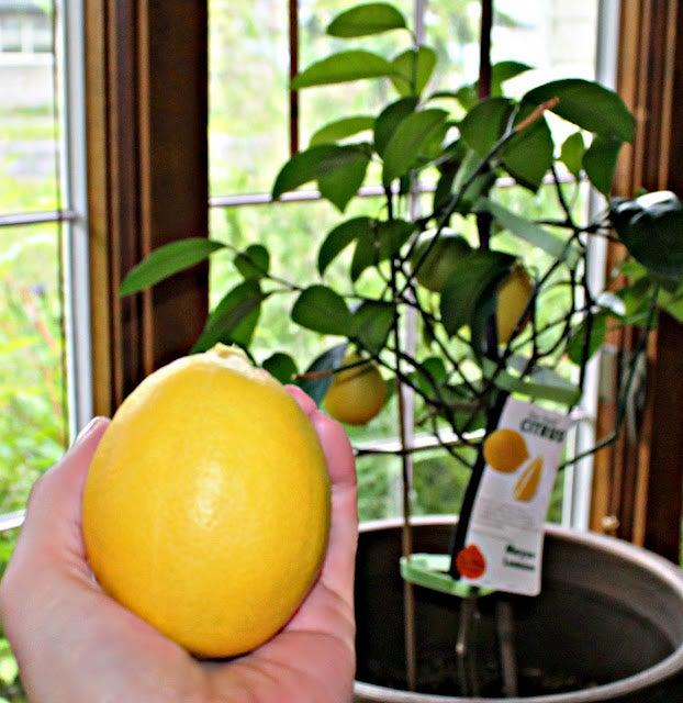 indoor citrus trees tips for growing citrus houseplants. Black Bedroom Furniture Sets. Home Design Ideas