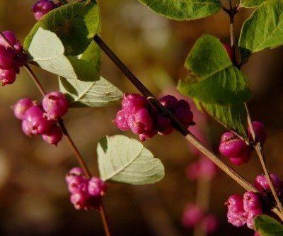 coralberry plant