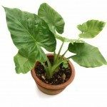 elephant ear houseplant