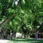 elm-trees
