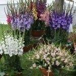 gladiolus-pot