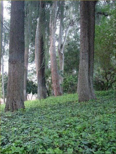 ivy under trees